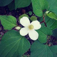 《 ドクダミ 》  白くて可愛らしいお花...