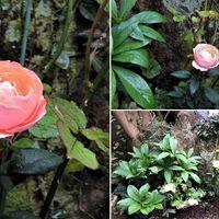 小道の終点小さな花壇に植えたミニバラ...