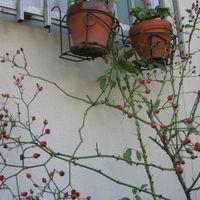 2020年10月25日 我が家の庭ではバラの赤...
