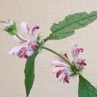 「キセワタが咲きました」20200801