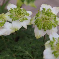 萼片の白と緑の花弁の曲がり具合は年に...