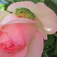 ピエールドロンサールの花を青蛙がベッ...