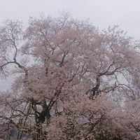 立派な桜です🌸