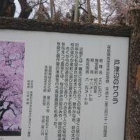 すごい⤴️⤴️🌸桜に会えて感動でした😉