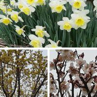 水仙、梅、サンシュユのお花が満開です。