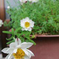 花かんざし、3年目の春かな?