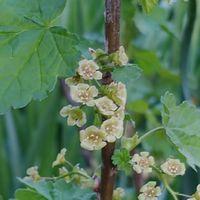 フサスグリの花