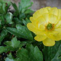 ラナンキュラス20200404 鉢植えが一輪開...
