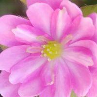 可愛らしいピンク色の雪割草💗 咲き方も...