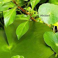 「水生植物」 初夏 水辺の様子 なぁんて...