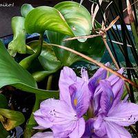 「ホテイアオイ」 睡蓮鉢、花が咲きまし...