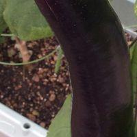 6/14 鉢植えのナスが沢山みのる。 ※23㎝...