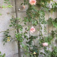 フランソワジュランビルが咲いています...
