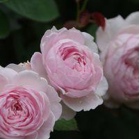 クリスティアーナ 7月のバラ