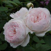 クリスティアーナ 二番花 7月のバラ