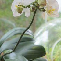 先週から咲き始めた胡蝶蘭🎵 今週の様子...