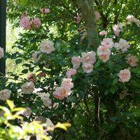 庭の奥のピンクの薔薇🌹 シマトネリコの...
