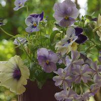 窓辺から💜 庭の小さな花たちを、ちょこ...