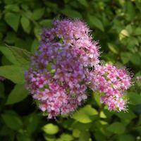 ピンクの小さな花がたくさん集まってい...