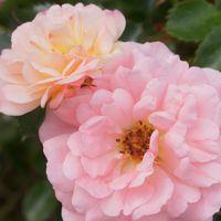 ドリフトローズは最初の開花を終え、次...