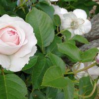 クリスティアーナ なんともきれいな花。...