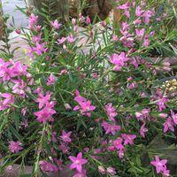 クロウエア 鉢植え 沢山の花で弓なりに...