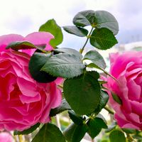 新苗を昨年春に迎えて 試しにつるバラの...