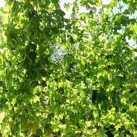 少し遅れて6月中旬に植えたゴーヤ、3株...