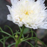 八重咲きコスモス。今日のコスモスは花...