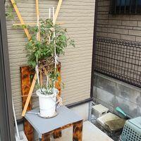 開花後のクレマチス 手作りの椅子と
