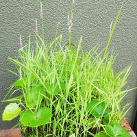 自然にできた寄せ植え。 最初は十和田ア...