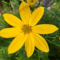 コレオプシス ザグレブ  明るい黄色です...