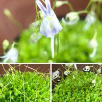 うさぎ苔 お花が可愛い💕 食虫植物です💦 ...