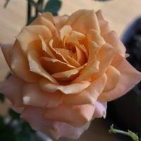 ミニ薔薇の方が花びら多い😅