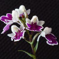 アワチドリ その2. 花の部分を拡大して...