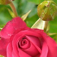 バラ🌹 品種不明の赤バラ