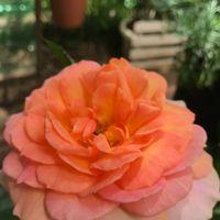 岩田オレンジ 切り花種のヒョロ苗から