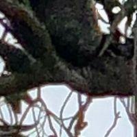 ユーカリの木に野生コアラの実 メルボル...