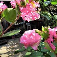 2⃣🌻サルスベリの花に囲まれたストロべ...