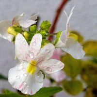 ネメシアちっちゃい花を拡大🤗
