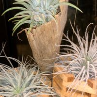 エアプラ参考 シャリボクは鉢みたく植材...