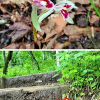 『マヤラン』2ヵ所で1番花が開きました...