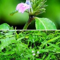 『キツネノマゴ』茎の先端から穂状花序...