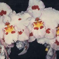 オドントグロッサム DOME1994〜8