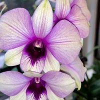 普通に満開 花スミレ