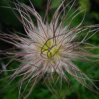 オキナグサの種