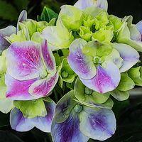 挿し木の紫陽花
