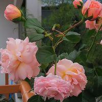 プシュケのシュートの花