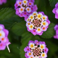 ランタナです。 6月初旬から咲き始めま...