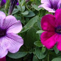 SUNTORYのサフィニア3色の寄せ植え。